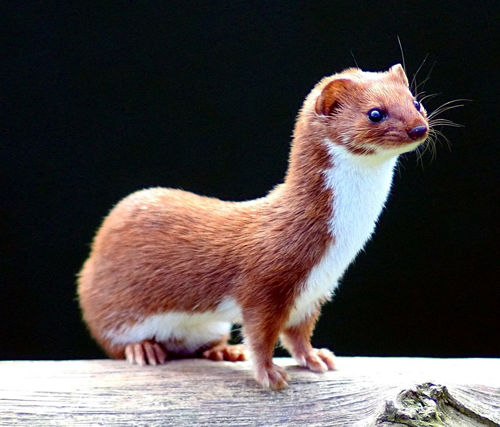 579583355_1024px-Mustela_nivalis_-British_Wildlife_Centre-4.jpg