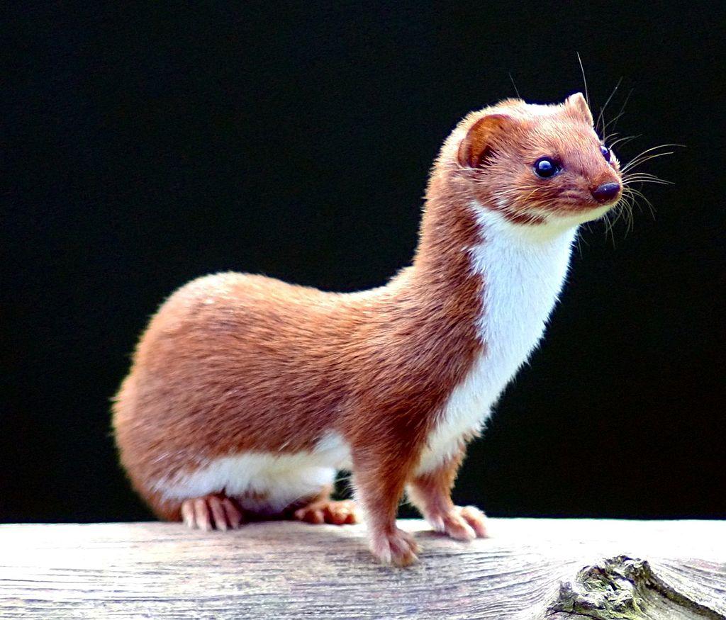Do Weasels Make Good Pets?