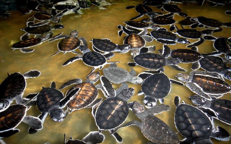 Other countries can learn from Kosgoda Turtle Hatchery the art of propagating turtles