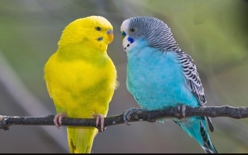 How To Care Budgerigar Parrot