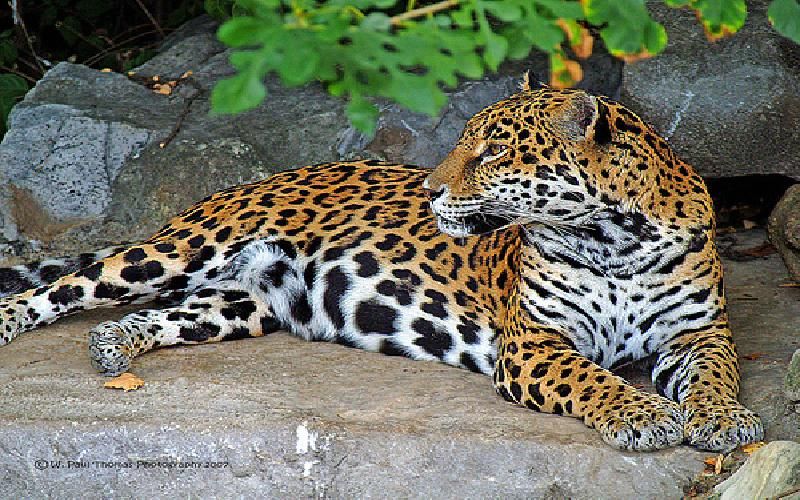 Leopards: Beatiful Big Cats
