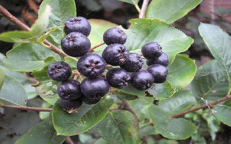 Nutritional Benefits of Aronia Berries