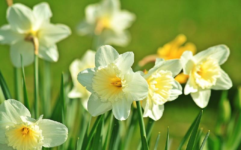 10 Facts about Daffodil Flowers