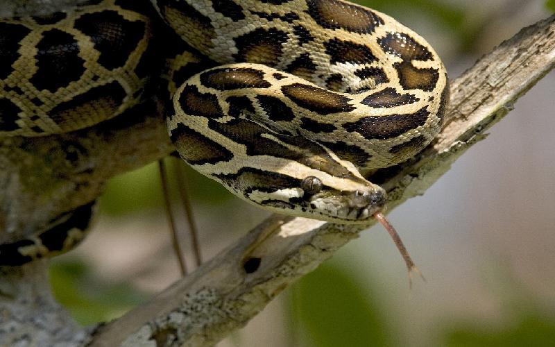 Worst Case Scenario: Burmese Python Invasion