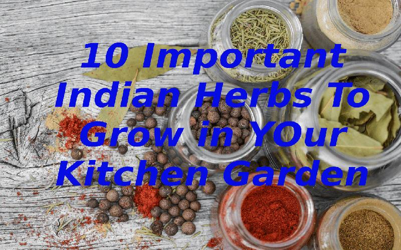 10 Important Indian Herbs to Grow in Your Kitchen Garden