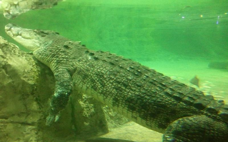 Dubai Mall has the King Croc in its Aquarium-Something Unique and Thrilling