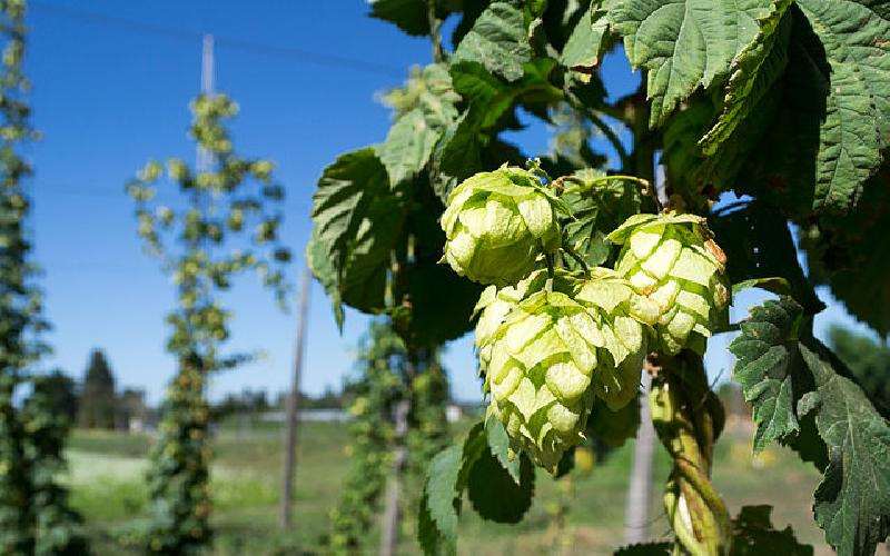 The Value of the Hop to the Beer-Making Process